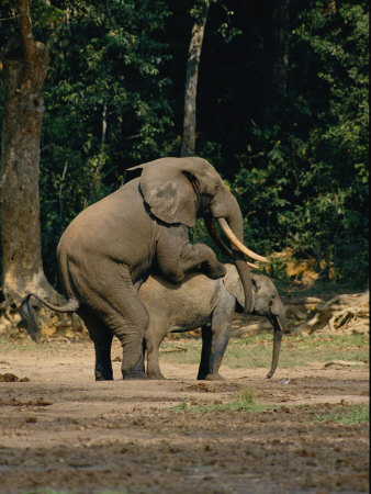 Elephant's Reproduction